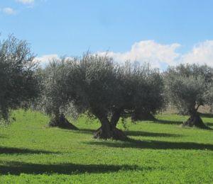 In Calabria Monna Oliva 2019